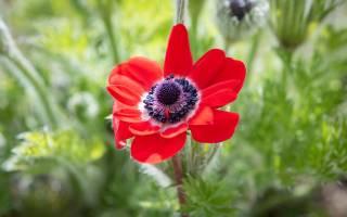 Цветок анемона уход посадка цветок анемона уход посадка