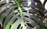 Лиственно декоративные растения комнатные