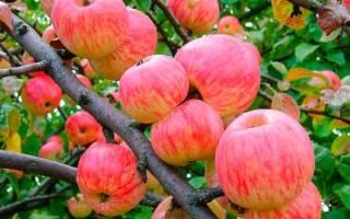 Уход за яблоней мельба осенью