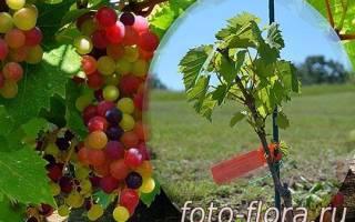 Виноград в ленинградской области посадка осенью и уход