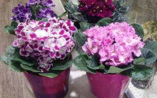 Комнатные цветы и уход за ними фиалки