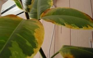 На листьях комнатных цветов коричневые пятна на