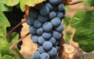 Уход за виноградом изабелла осенью обрезка на зиму