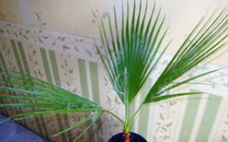 Пальма комнатная как называется