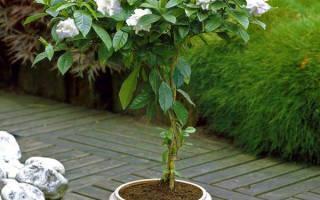 Особенности выращивания гардении