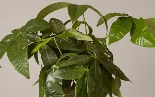 Самое популярное комнатное растение 100 к 1