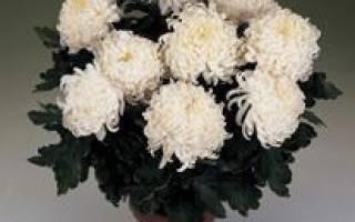 Как ухаживать за домашней хризантемой в горшке в домашних условиях?