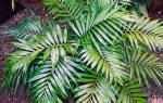 Название домашнее растение пальма