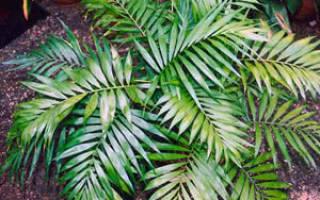 Как называется растение как пальма?