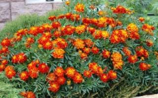 Можно ли выращивать бархатцы как комнатное растение?