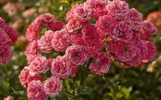 Как выращивать розы кустовые?