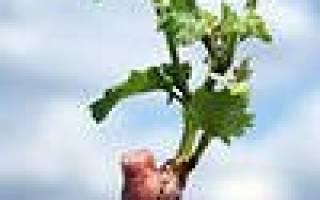 Как вырастить из лозы винограда саженец?