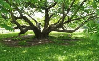 Уход за деревом грецкого ореха