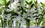 Как поливать орхидею дендробиум в домашних условиях?