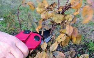 Уход за штамбовыми розами осенью подготовка к зиме