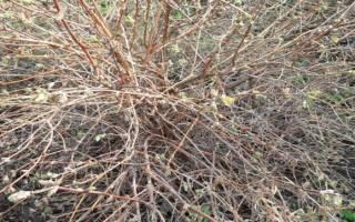 Уход за жимолостью осенью обрезка
