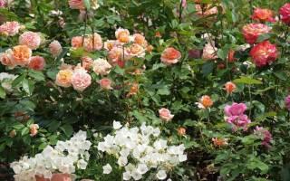 Как в домашних условиях размножить розы?