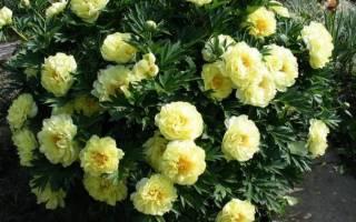 Садовые многолетние цветы каталог