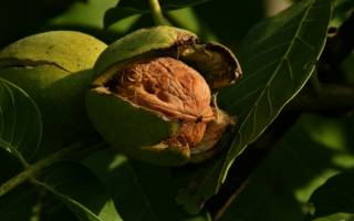 Время посадки ореха грецкого