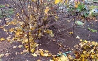 Уход за крыжовником после сбора урожая осенью