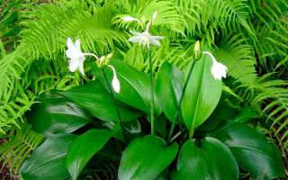 Уход за эухарисом во время цветения