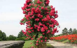 Плетистая роза посадка осенью и уход