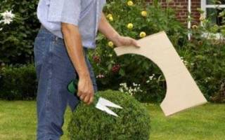 Как ухаживать за самшитом в саду?