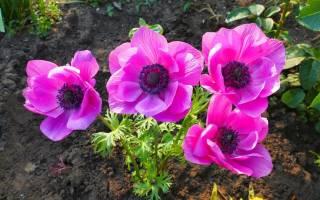 Цветок анемон посадка и уход