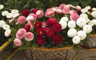 Особенности выращивания цветка — краткое описание. Сложность, прихотливость, доступность