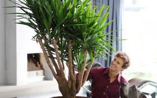 Пальмы в домашних условиях как ухаживать