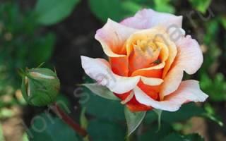 Уход за розами с весны до осени