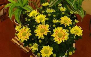 Как ухаживать за комнатными хризантемами в домашних условиях?