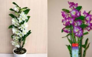 Уход за орхидеей в домашних условиях dendrobium nobile
