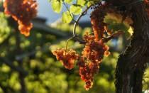 Уход за виноградом осенью обрезка на зиму в первый год
