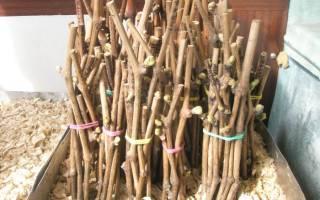 Хранение чубуков винограда в домашних условиях