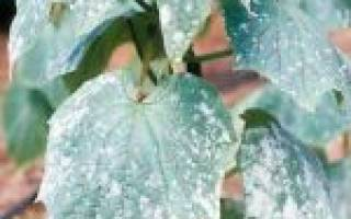 Что такое мучнистая роса и как с ней бороться?