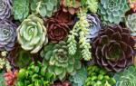 Суккуленты как комнатные цветы виды