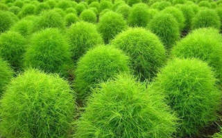 Кохия выращивание из семян, когда сажать