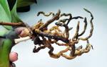У цветущей орхидеи гниют корни что делать