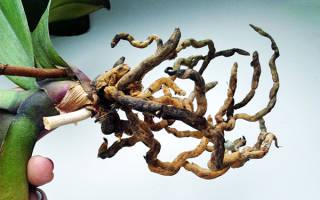 Что делать если у орхидеи загнили корни?