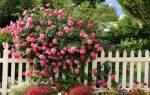 Плетистая роза уход и обрезка осенью