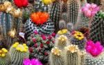 Кактусы какие кактусы цветут в домашних условиях?