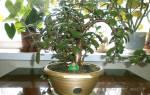 Денежное дерево условия содержания