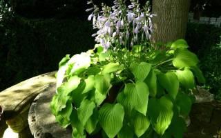 Хоста в саду ‑ описание цветка