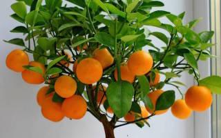 Уход за комнатным мандарином осенью