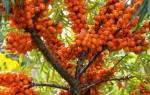 Чем обработать облепиху осенью от вредителей и болезни