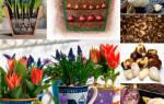 Цветы комнатные луковичные с названиями