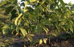 Орехи грецкие посадка и уход