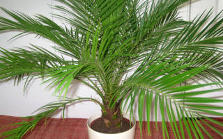 Уход за декоративной пальмой
