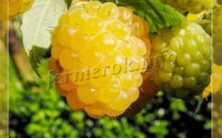Малина желтый гигант посадка и уход осенью